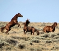 Wild Horses in the Sand Wash Basin