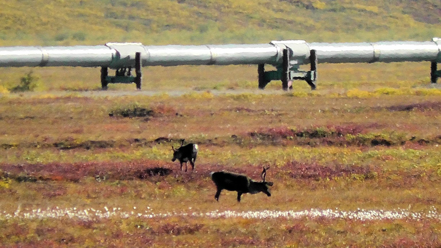 Caribou and the Alaska Pipeline