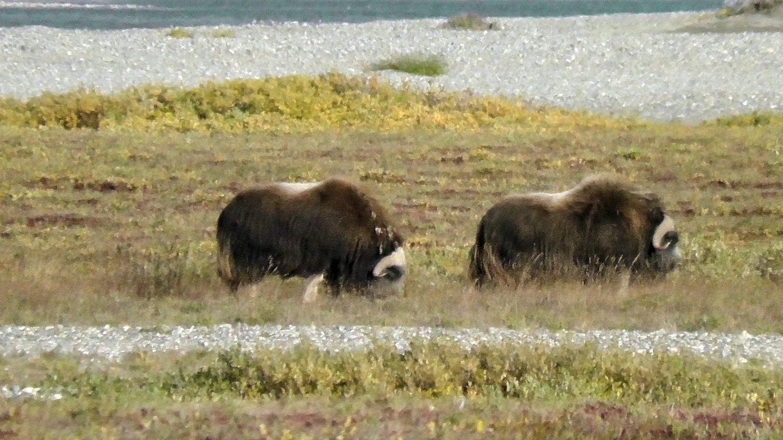 Musk Ox on the Arctic tundra, Alaska