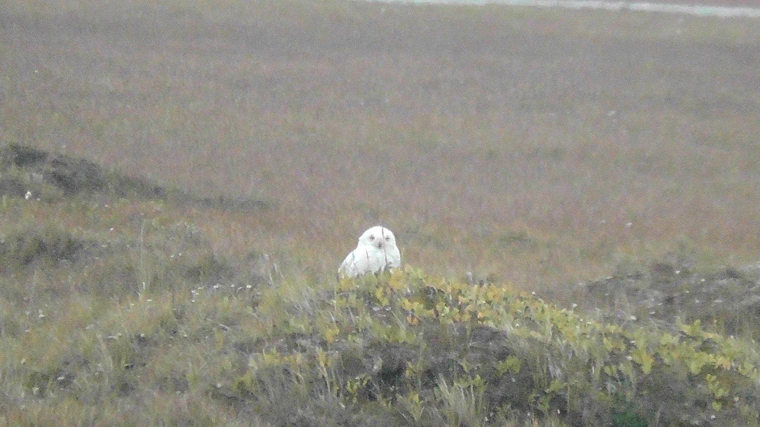 Great Snowy Owl, near the Arctic Ocean, Alasaka