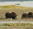 Musk Ox on the Arctic tundra, Alaska