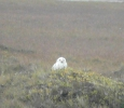 Great Snowy Owl, near the Arctic Ocean, Alasaka
