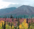Fall Colors, outside Denali National Park